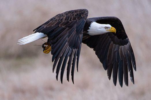 Фото бесплатно клюв, орел, полет над землей