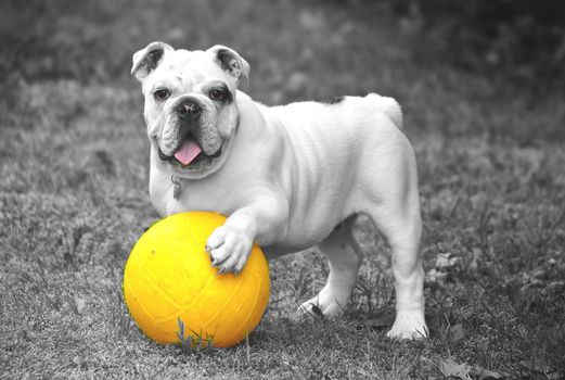 Photo free bulldog, playful, ball