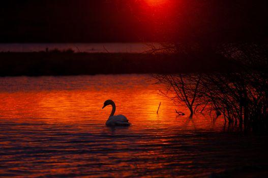 Фото бесплатно лебедь, птицы, животные