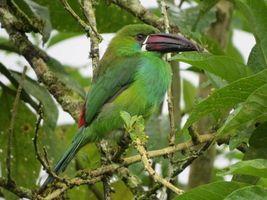 Фото бесплатно Изумрудный туканет, Aulacorhynchus prasinus, птица на ветке