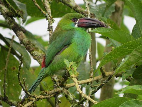 Photo free Emerald will toucanet, Aulacorhynchus prasinus, bird on branch