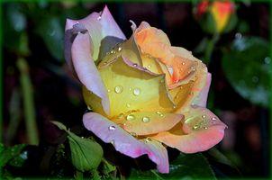 Заставки роза, цветы, разноцветные