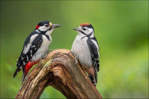 Photo free birds, woodpecker, woodpeckers
