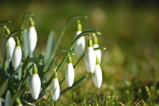 Фото бесплатно цветы, белый, подснежники
