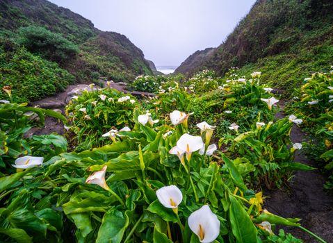 Фото бесплатно каллы, цветок, США