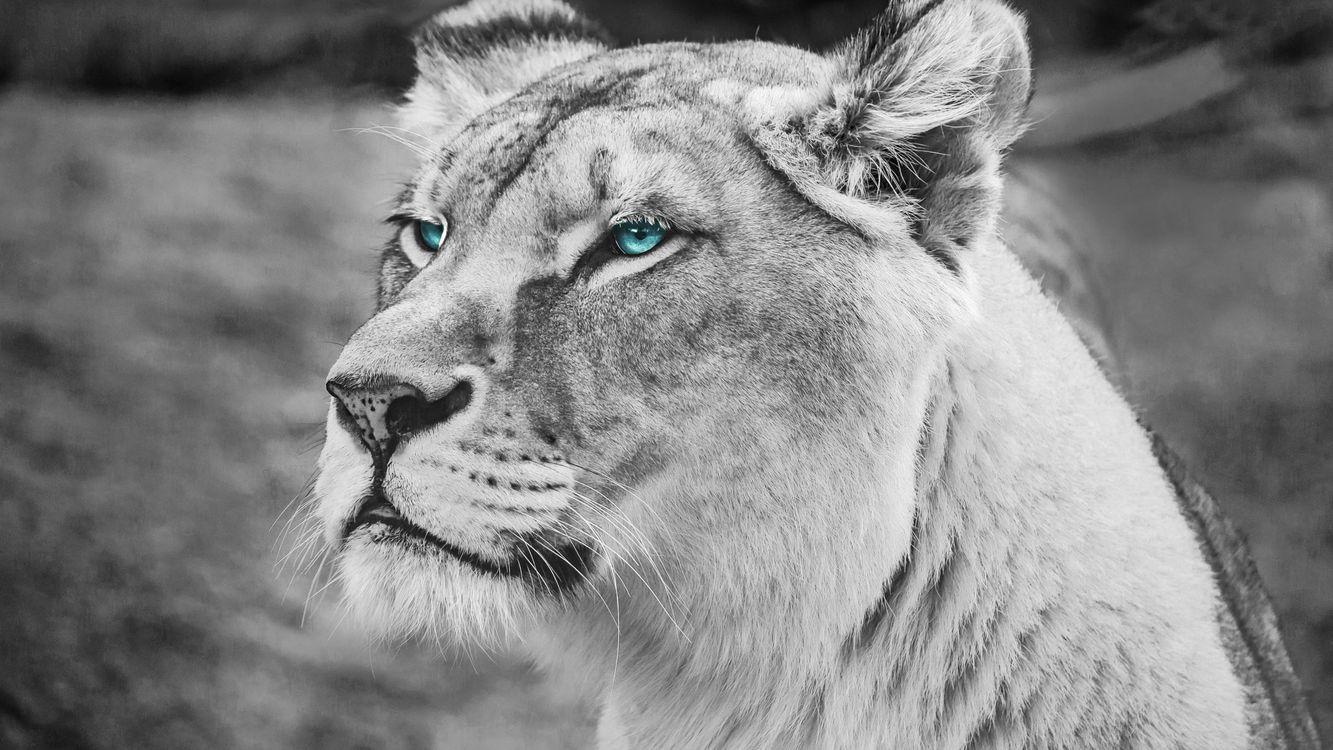 Фото бесплатно Лев, голубые глаза, величественный - на рабочий стол