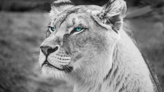 Фото бесплатно Лев, голубые глаза, величественный