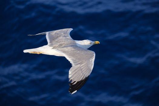 Photo free seagull, birds, fly
