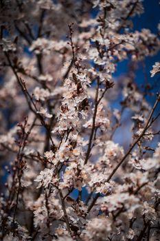 Фото бесплатно цветение сакуры, вишня, цветения
