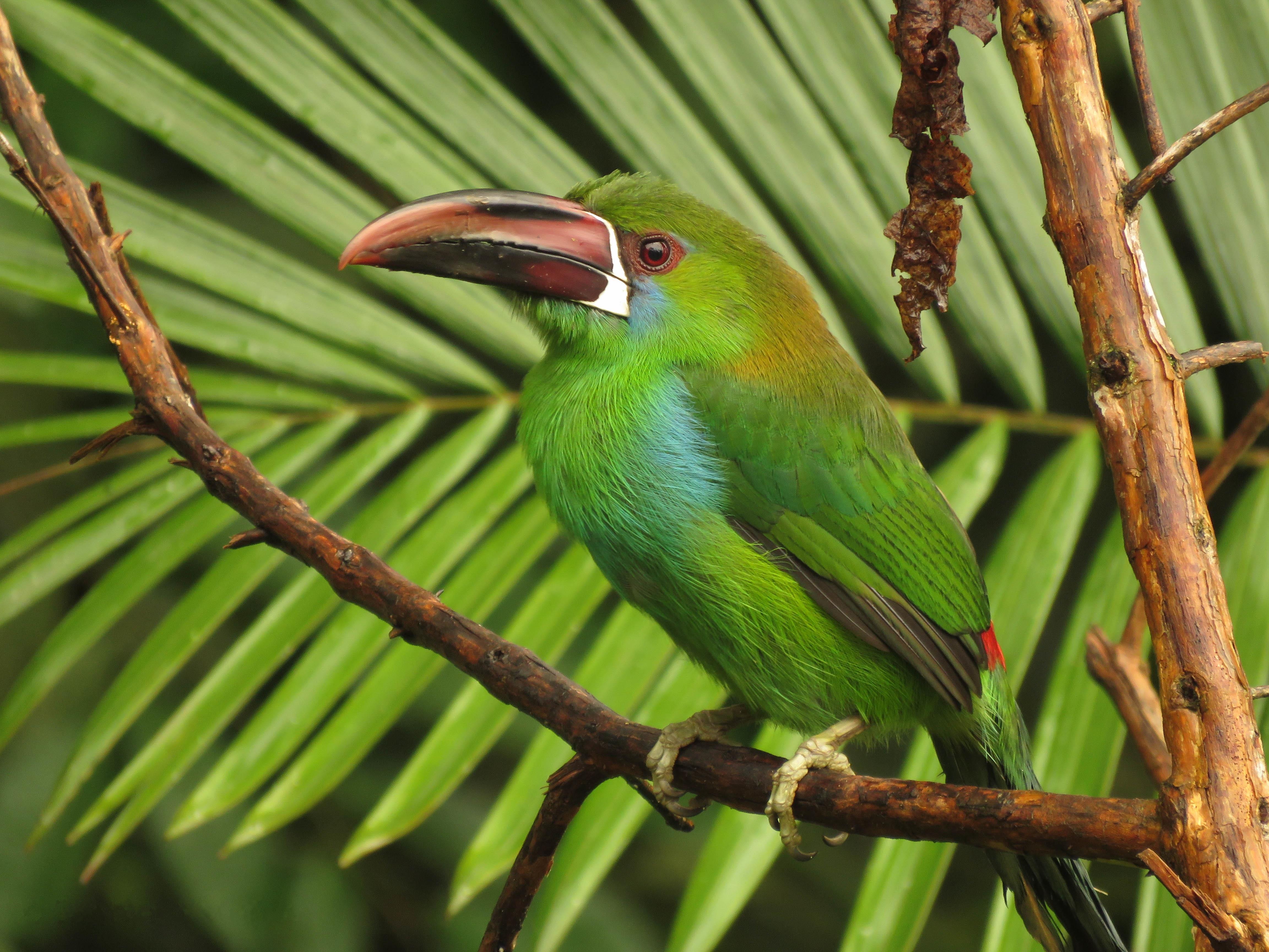 Обои Изумрудный туканет, Aulacorhynchus prasinus, птица на ветке