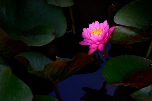 Бесплатные фото водоём,водяная лилия,цветок,цветы,цветочный,цветочная композиция,флора,красивые,красивый,цвет,оригинальный,красочный