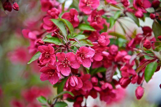 Photo free spring, flora, Cherry Blossoms
