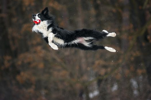 Photo free Border collie, jumping, dogs