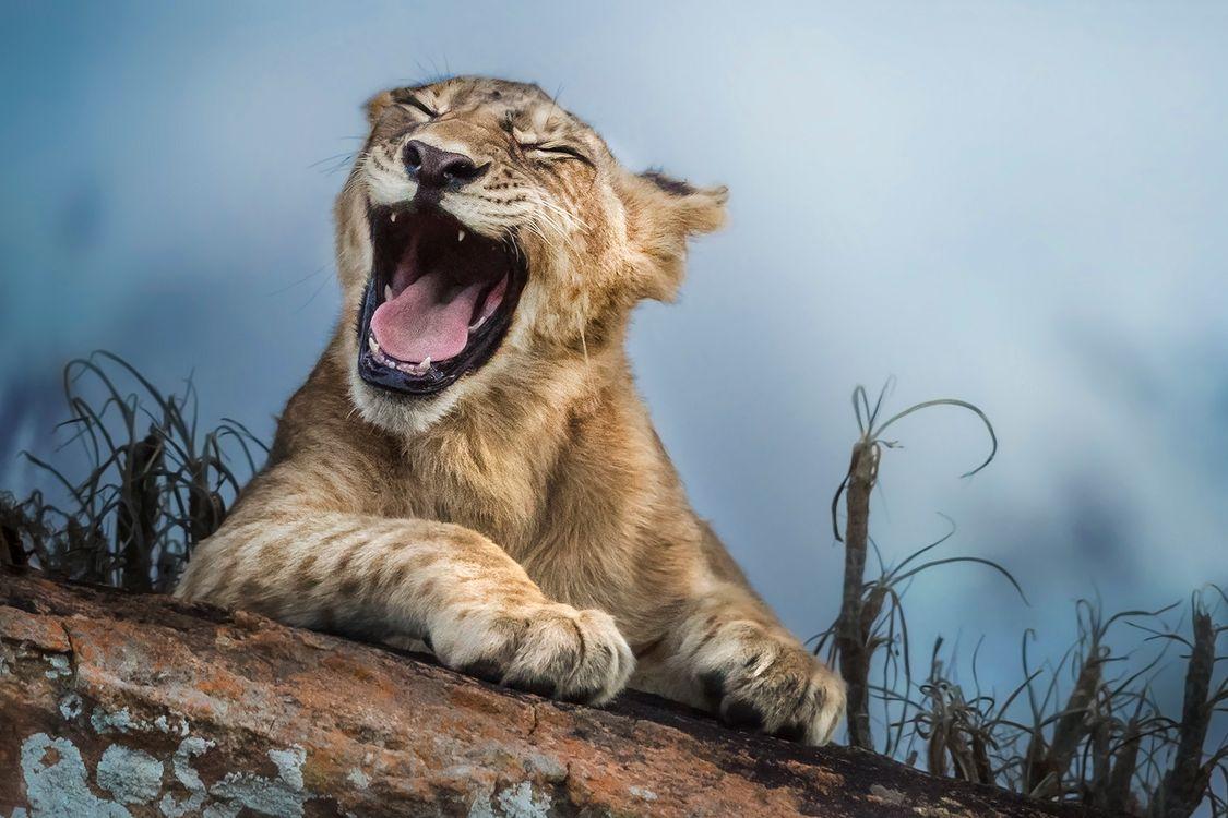 Фото бесплатно Львиный Зёв, львёнок, животное, хищник, животные