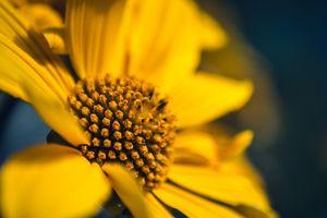Фото бесплатно цветок, семейство маргариток, флора