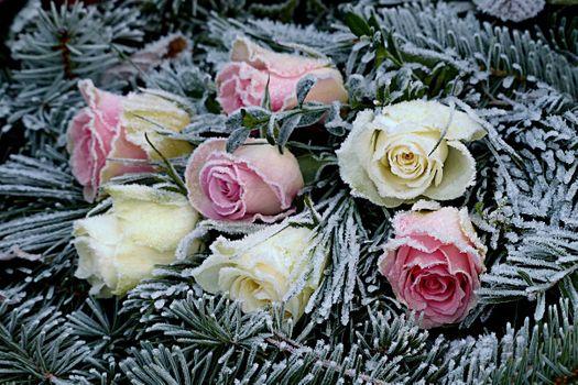 иней на розах