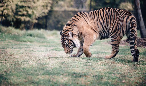 Photo free tiger, walking, grass