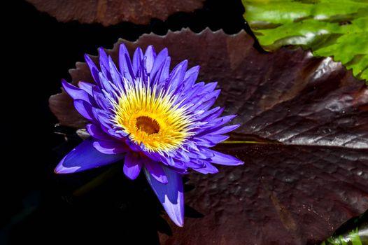 Free water lilies, water lily - beautiful photo