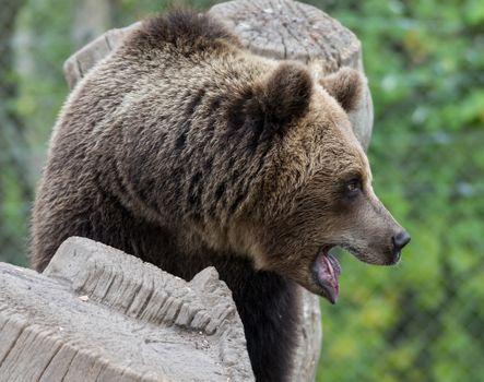 Фото бесплатно медведь, хищник, дерево