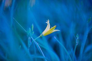Обои трава, цветок, лилия, макро