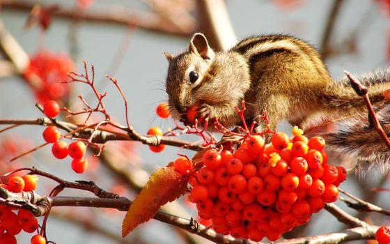 Photo free a rowanberry, berries, chipmunk