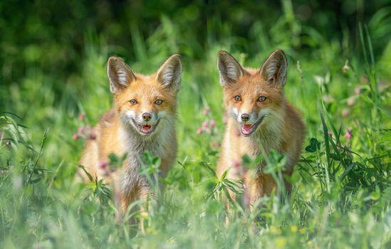 Фото бесплатно поле, лисы, звери