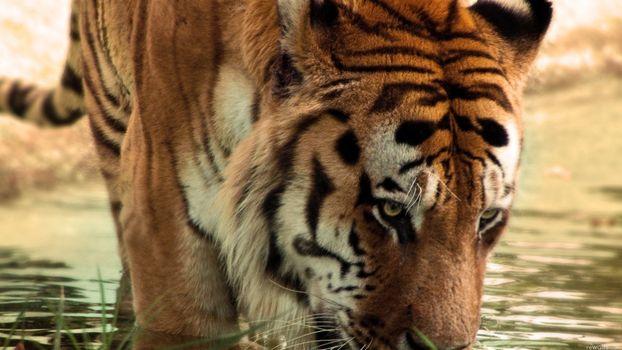 Фото бесплатно тигр, лицо, полосатый