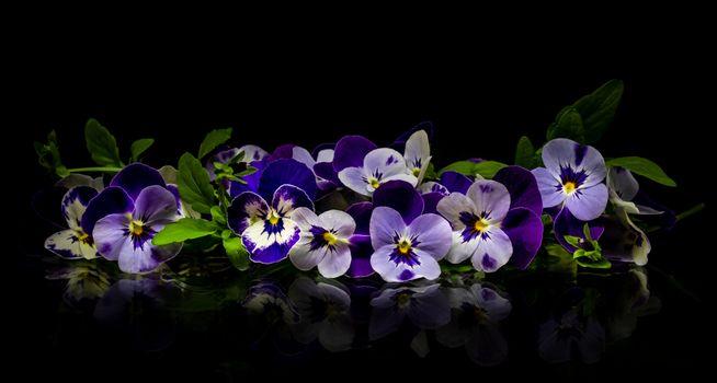 Фото бесплатно Виола, цветок, цветы