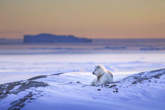 Фото бесплатно белая собака, лежа, снег