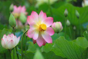 Фото бесплатно флора, водная красота, лотосы