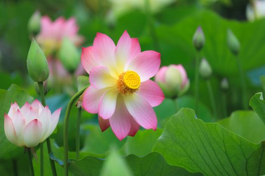 Photo free flora, water beauty, lotuses