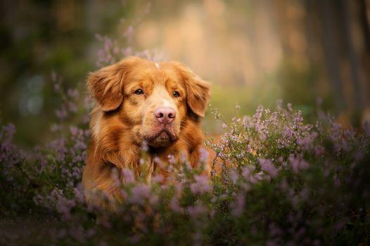 Фото бесплатно Новая шотландская утка, толлинг ретривер, цветы