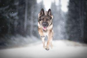 Бесплатные фото Овчарка, собака, животное, прыжок