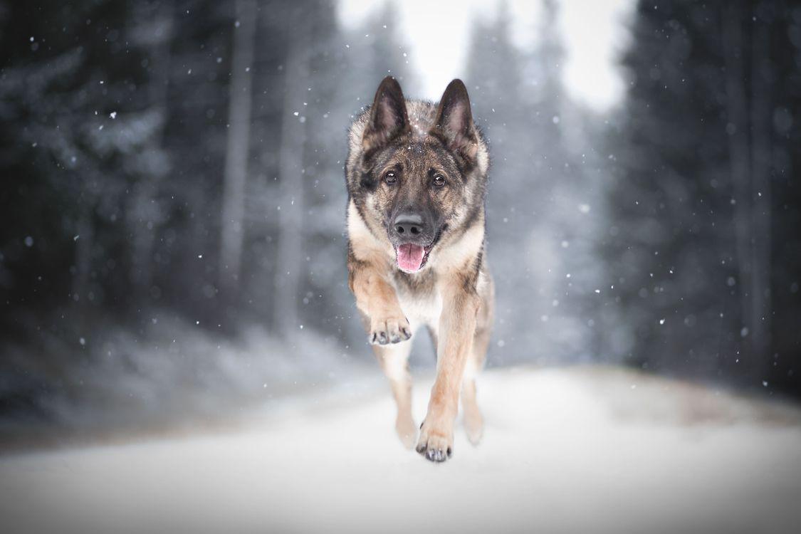 Фото бесплатно Овчарка, собака, животное - на рабочий стол