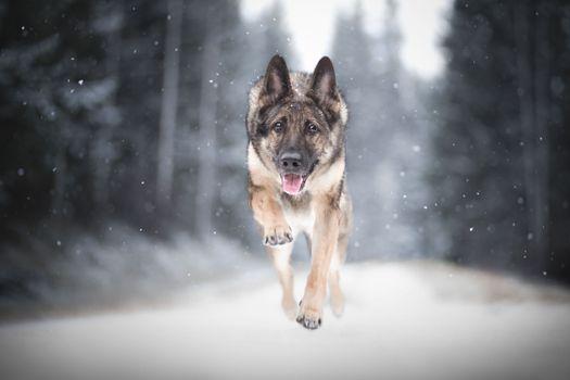 Фото бесплатно Овчарка, собака, животное