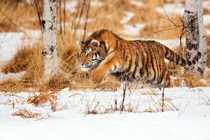 Заставки тигр, бег, снег