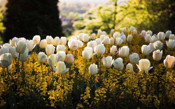 Photo free tulips, flowers, meadow