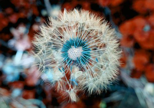 Фото бесплатно одуванчик, растение, цветы