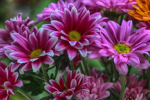 Photo free flora, chrysanthemums, bloom