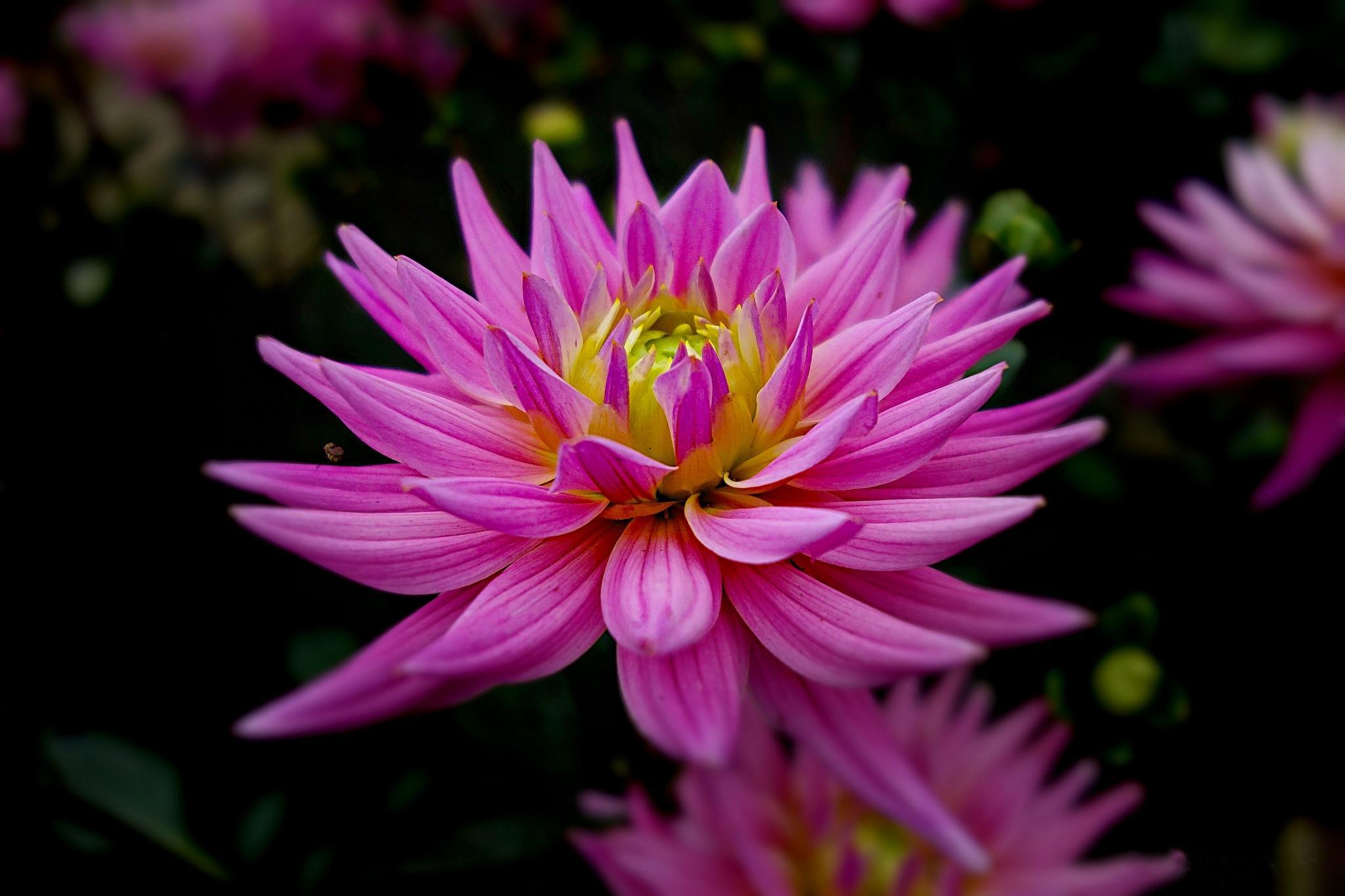 георгин, цветок, отражение