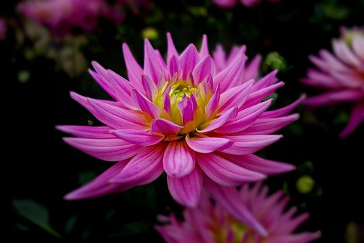 Фото бесплатно георгин, цветок, отражение
