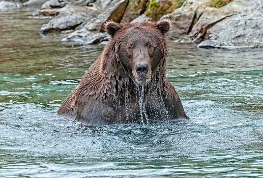 Photo free water, brown bear, animal