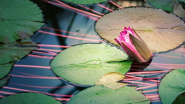 Photo free pond, water Lily, flower