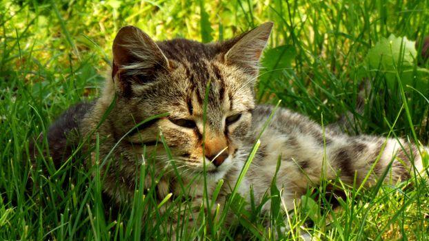Фото бесплатно кот, ленивый, морда