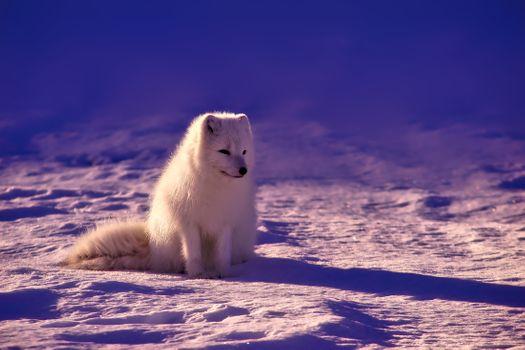 Photo free animals, snow, white fox
