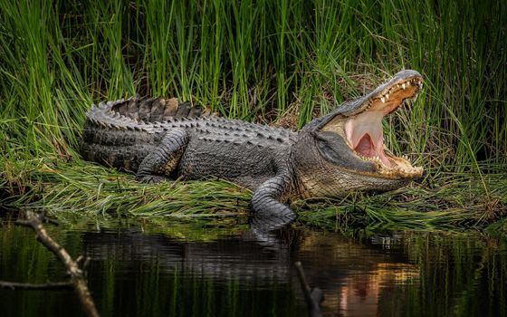 Photo free american alligator, swamp, wildlife