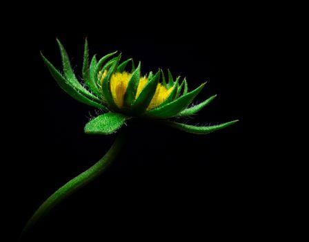 Sunflower · free photo