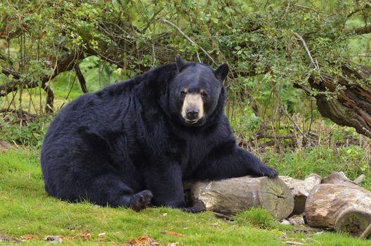 Photo free black bear, looking at viewer, wood