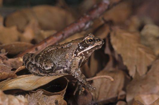 Photo free frog, amphibian, agamidae