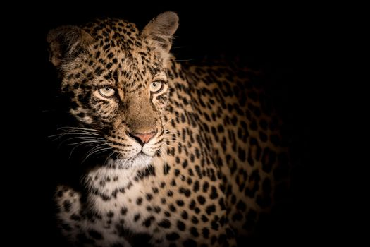 Wallpaper, leopard, predator, big cat on the desktop high quality